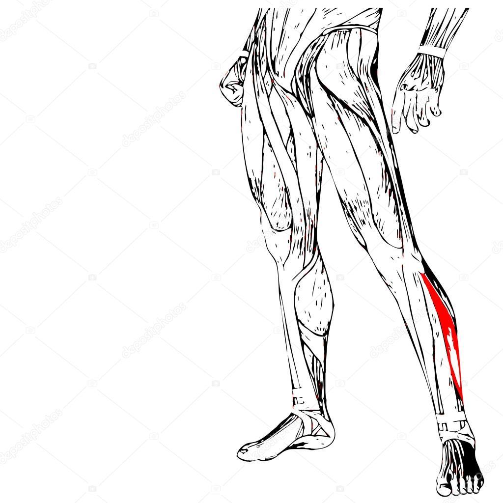 Anatomie der menschlichen Beine — Stockfoto © design36 #94586316