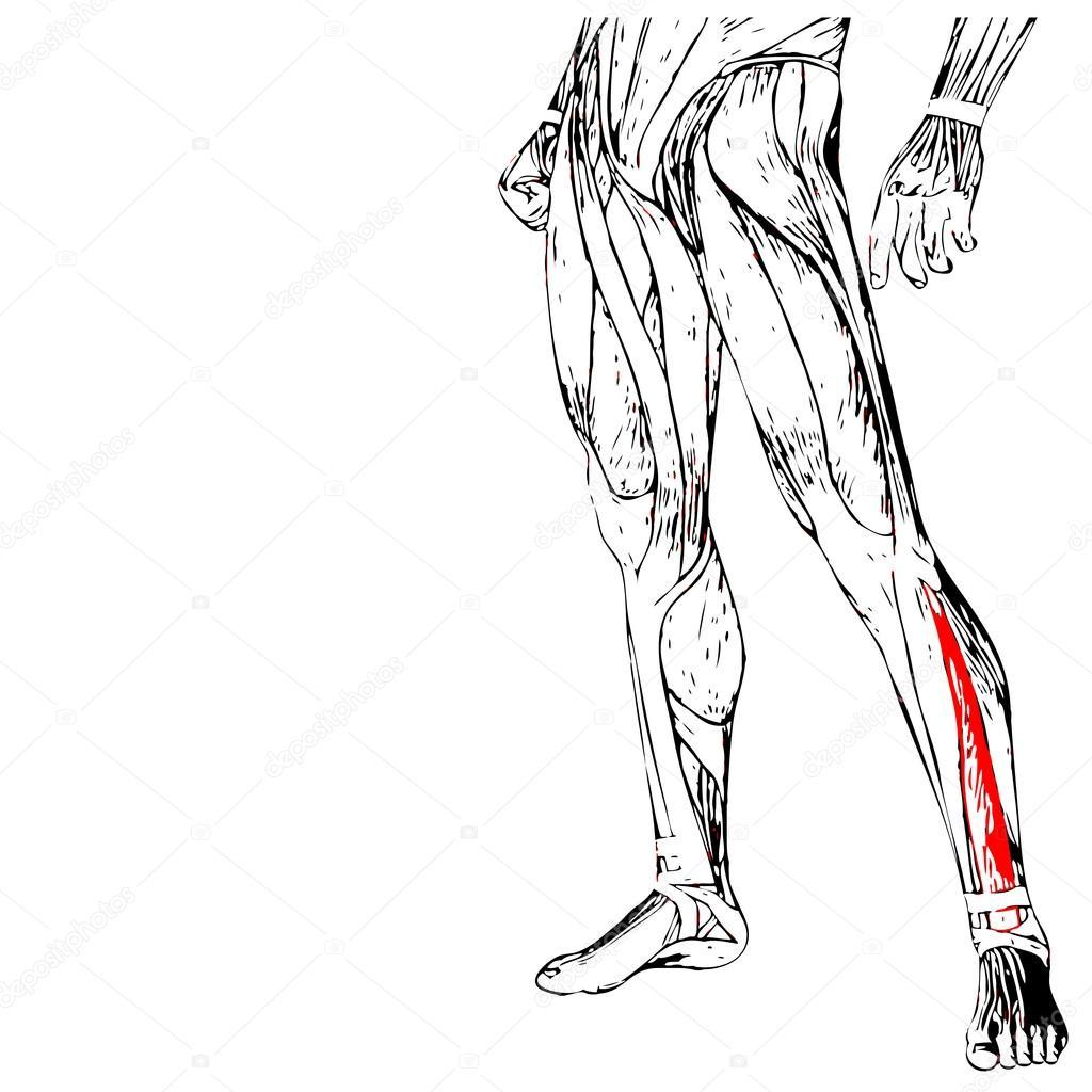 Anatomie der menschlichen Beine — Stockfoto © design36 #94586874