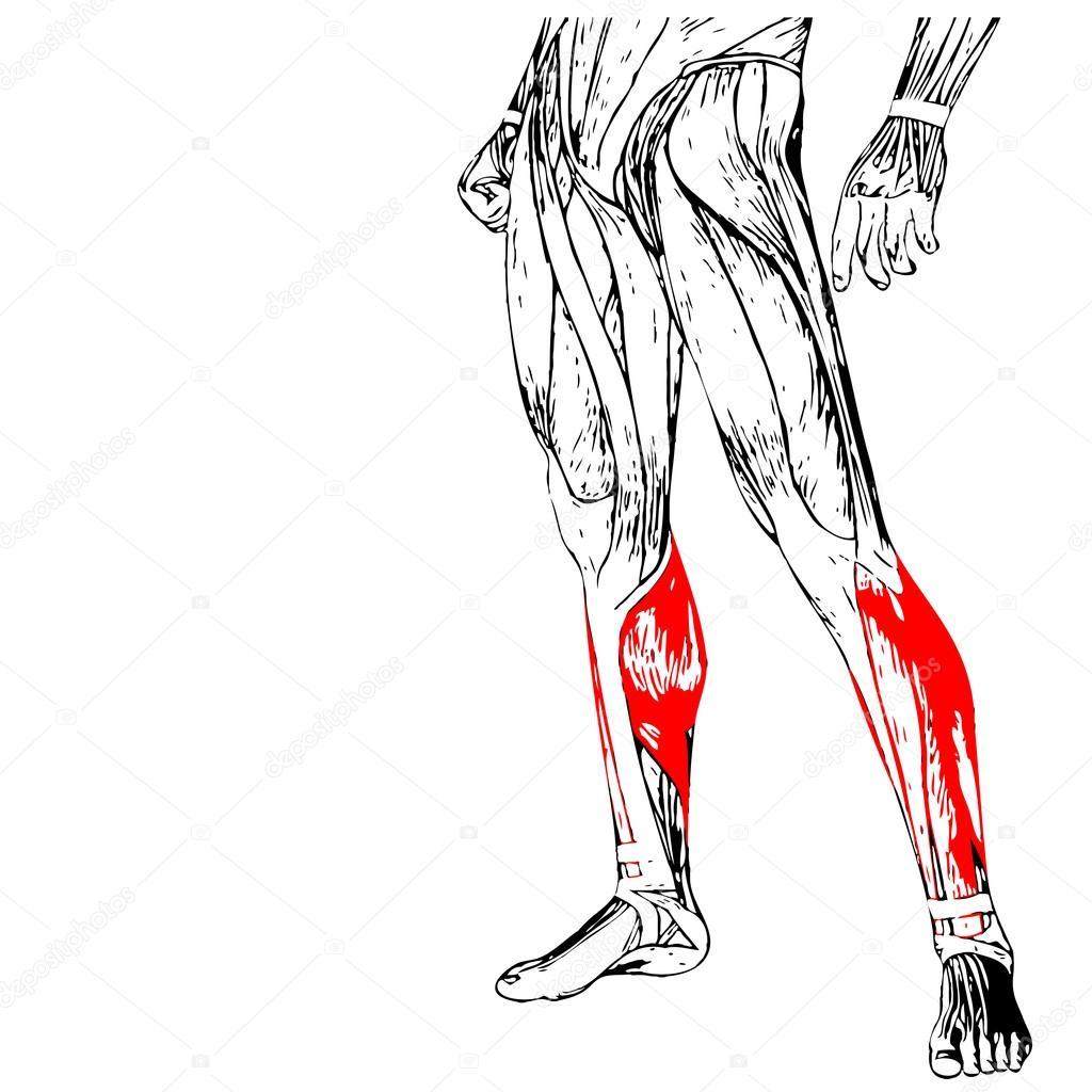 Anatomía de las piernas humanas — Foto de stock © design36 #94587408