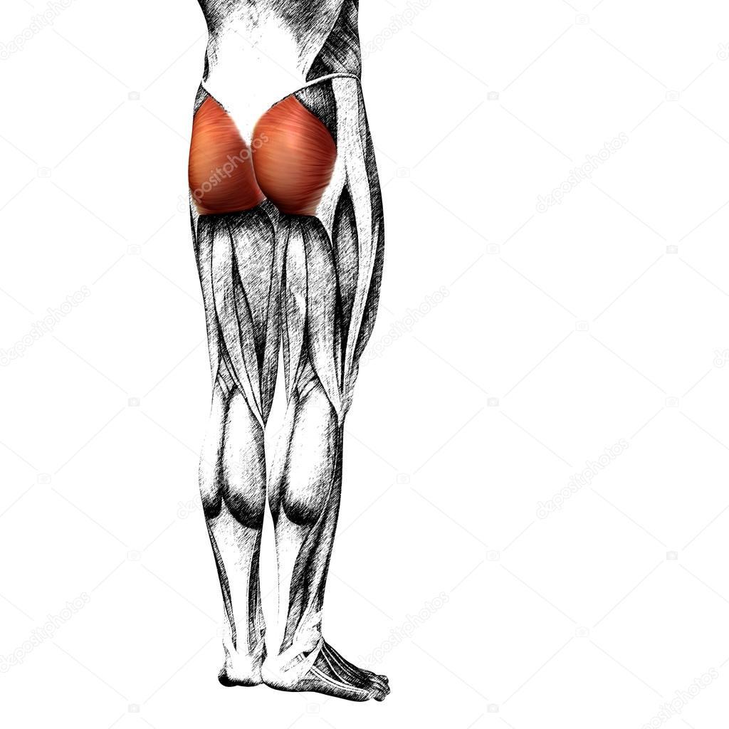 Anatomie der menschlichen Beine — Stockfoto © design36 #94588522