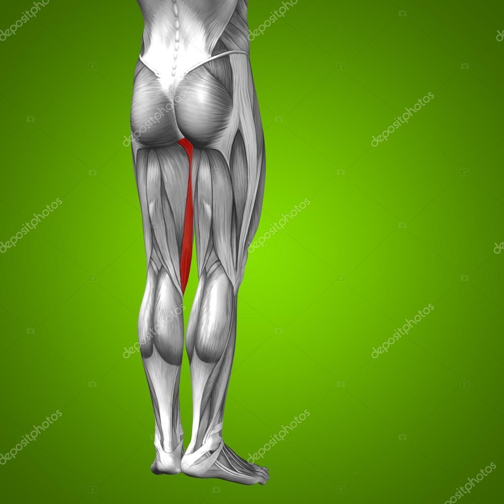 Anatomie der menschlichen Beine — Stockfoto © design36 #94588740