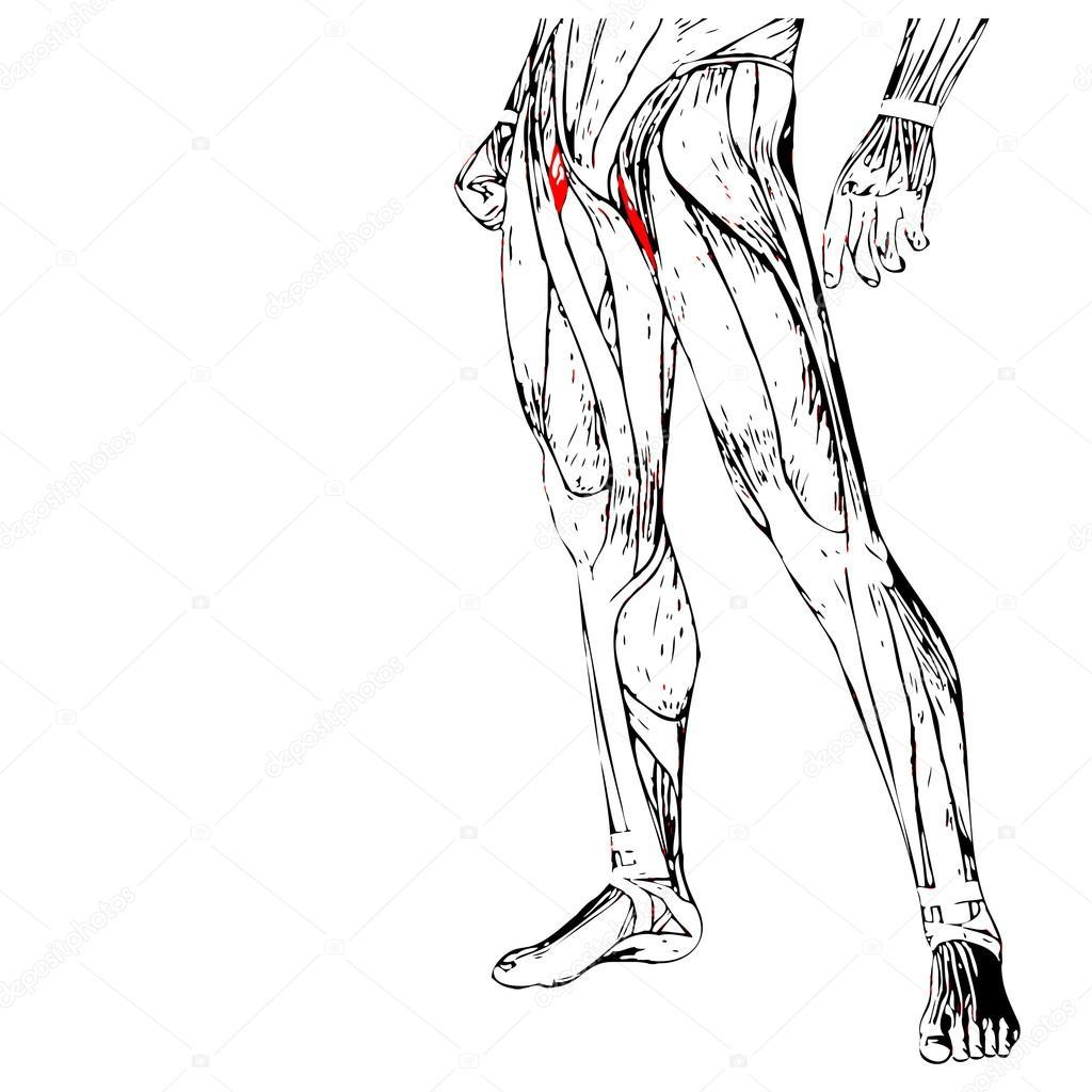 Anatomía de las piernas humanas — Fotos de Stock © design36 #94589820