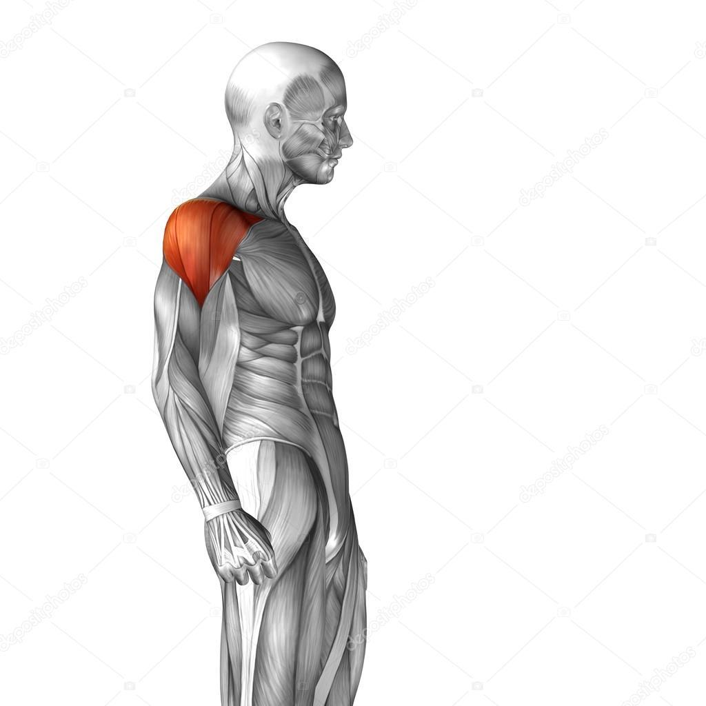 Menschliche Anatomie der Brust — Stockfoto © design36 #94590770