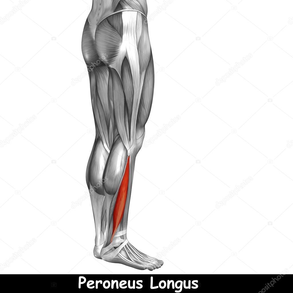 Konzept oder konzeptionelle 3D menschlichen Unterschenkel Anatomie ...