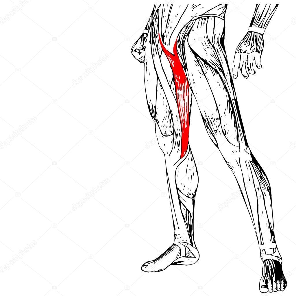 Anatomie der menschlichen Beine — Stockfoto © design36 #94592836