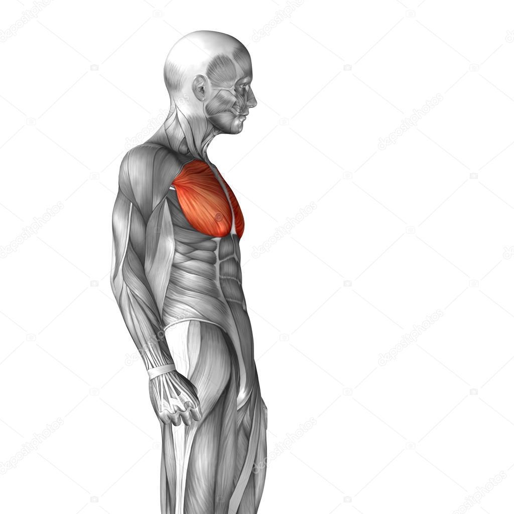 Anatomía del músculo pectoral o pecho — Fotos de Stock © design36 ...