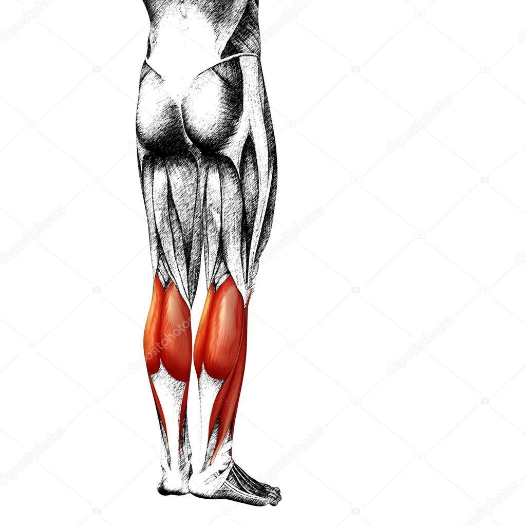 Anatomie der menschlichen Beine — Stockfoto © design36 #94595676