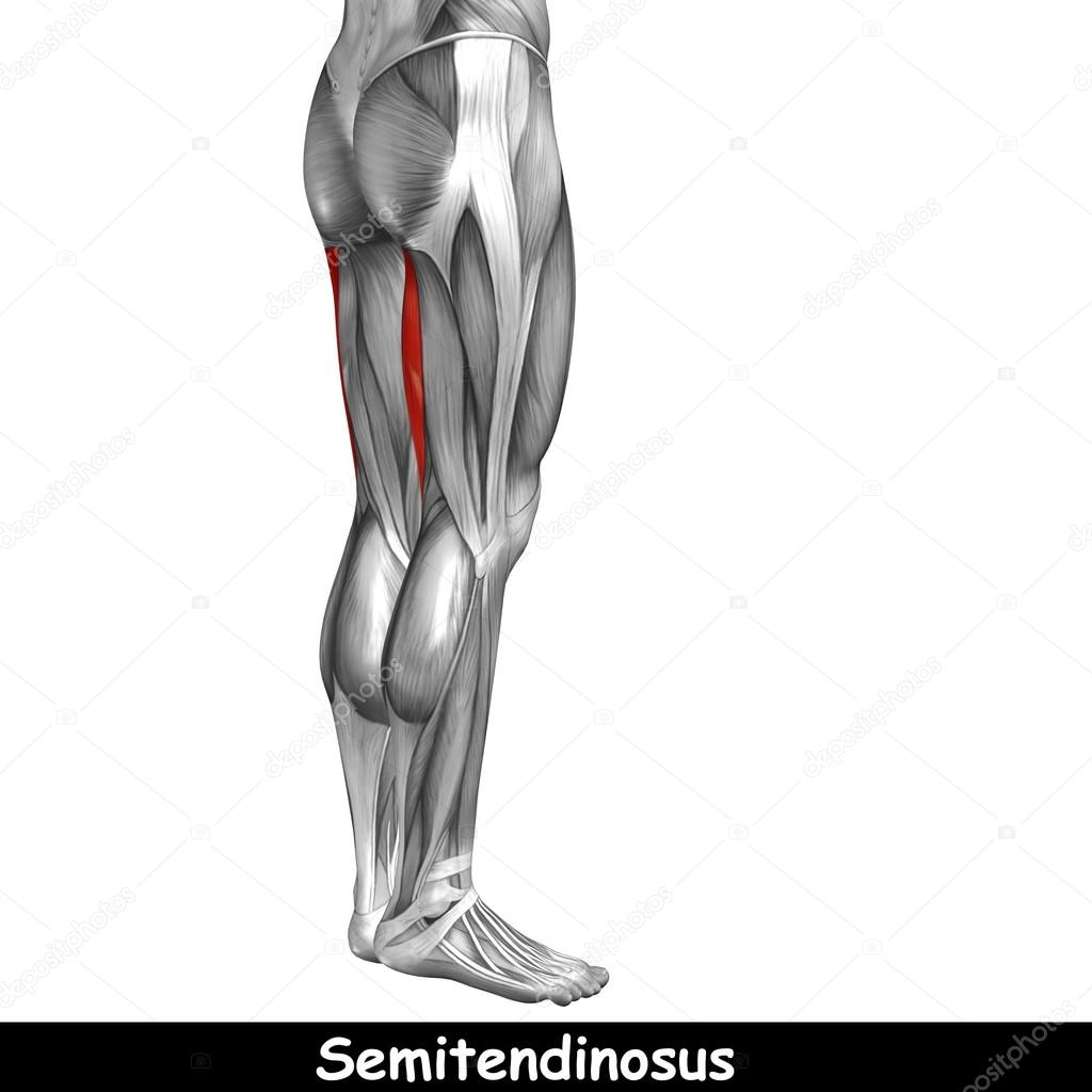 Concept or conceptual 3D human upper leg anatomy or anatomical and ...