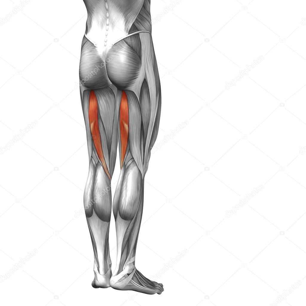 Konzeptionelle 3d menschlichen Oberschenkel Anatomie oder ...
