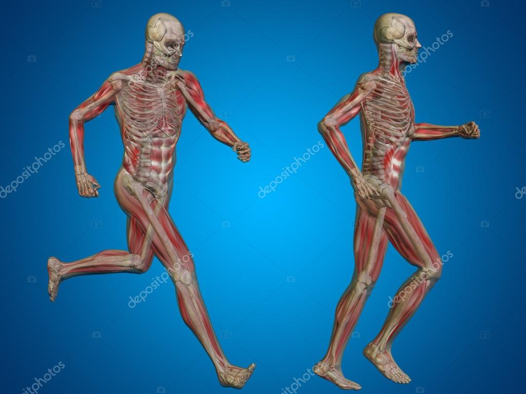 Male Skeleton Anatomy Stock Photo Design36 94599754