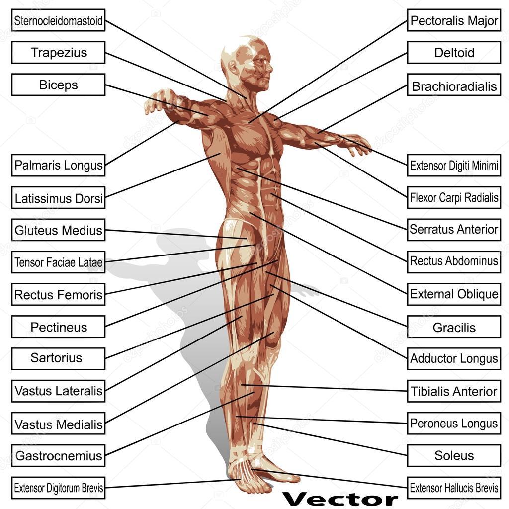 Anatomie De L Homme anatomie de l'homme avec le texte de muscles — image vectorielle