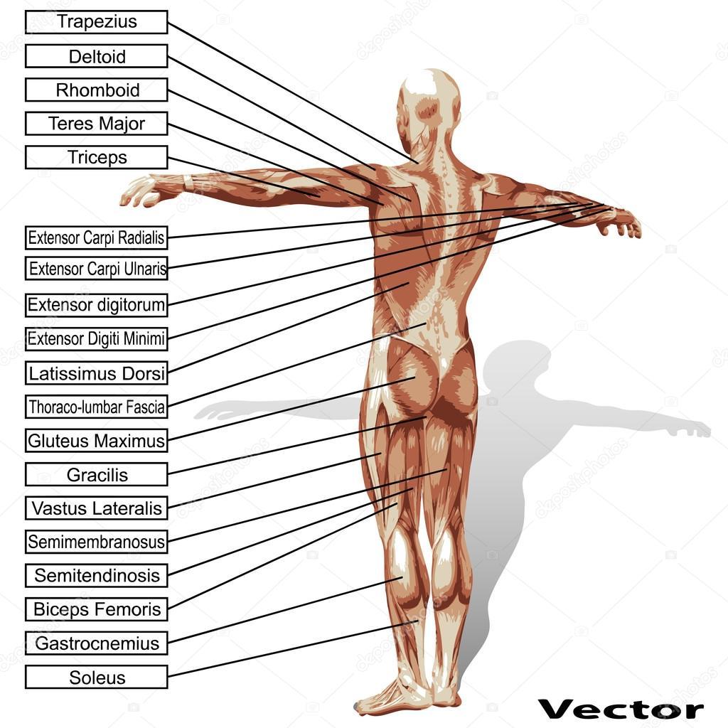 Anatomía del hombre con el texto de los músculos — Vector de stock ...