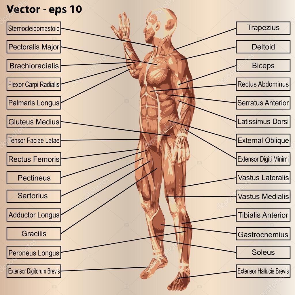 Anatomía con músculos y texto — Vector de stock © design36 #94596818