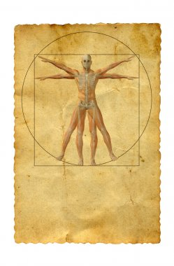 vitruvian human body drawing
