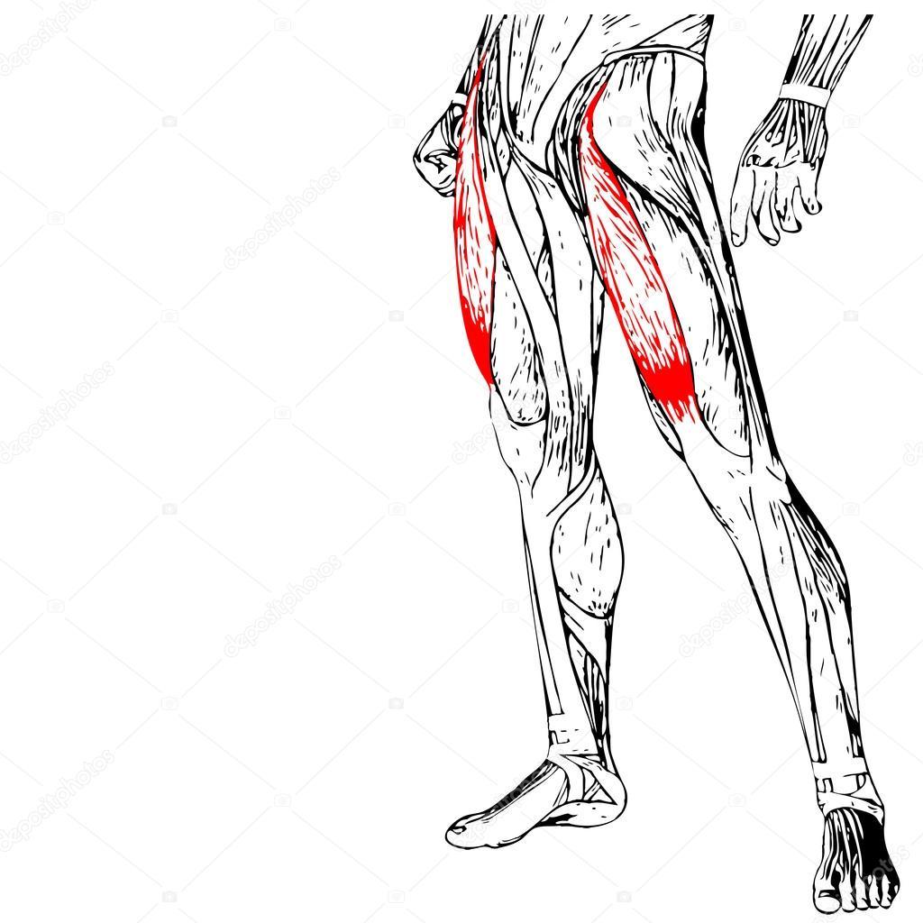Anatomía de las piernas humanas — Foto de stock © design36 #94600036