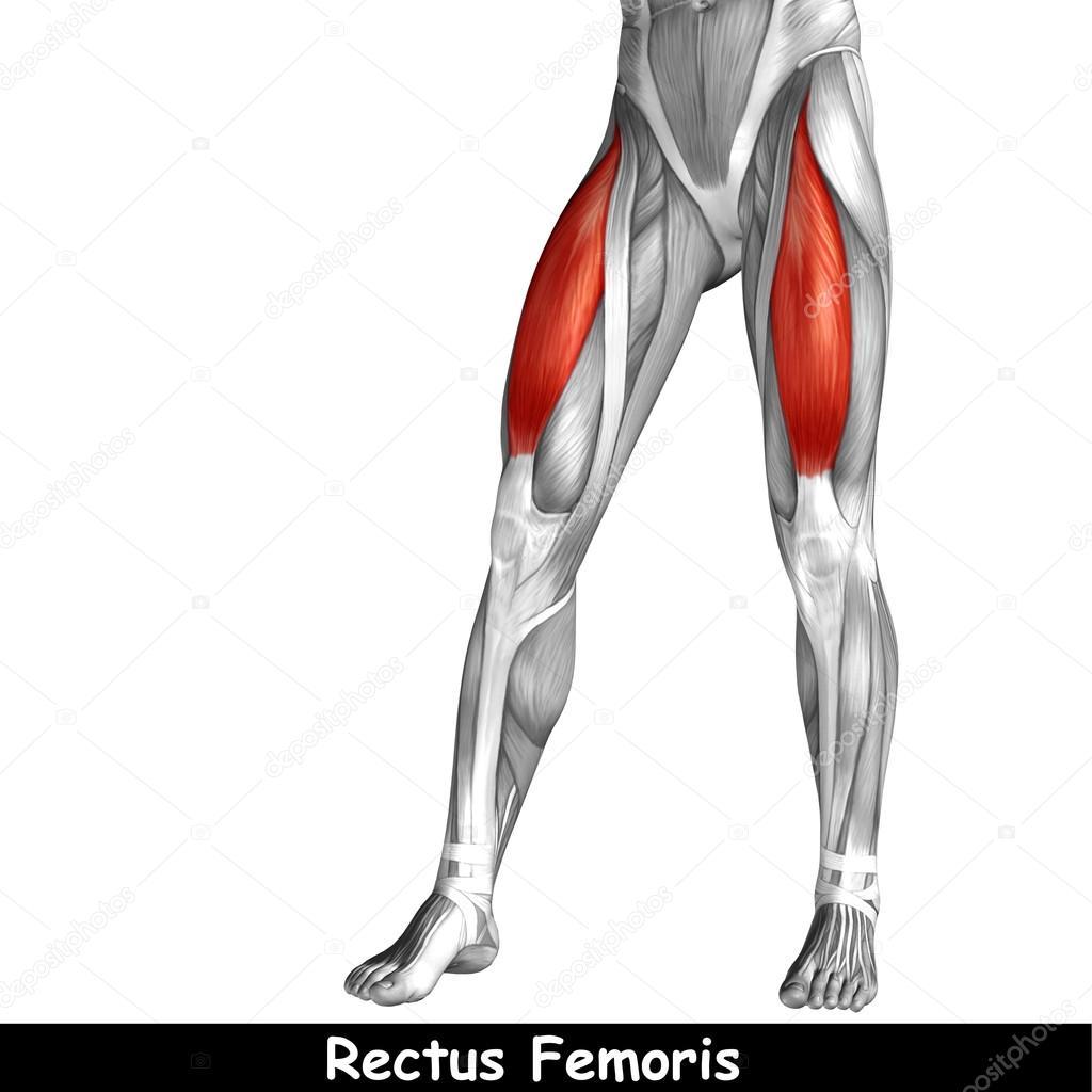 Konzept oder konzeptionelle 3D menschlichen Oberschenkel Anatomie ...
