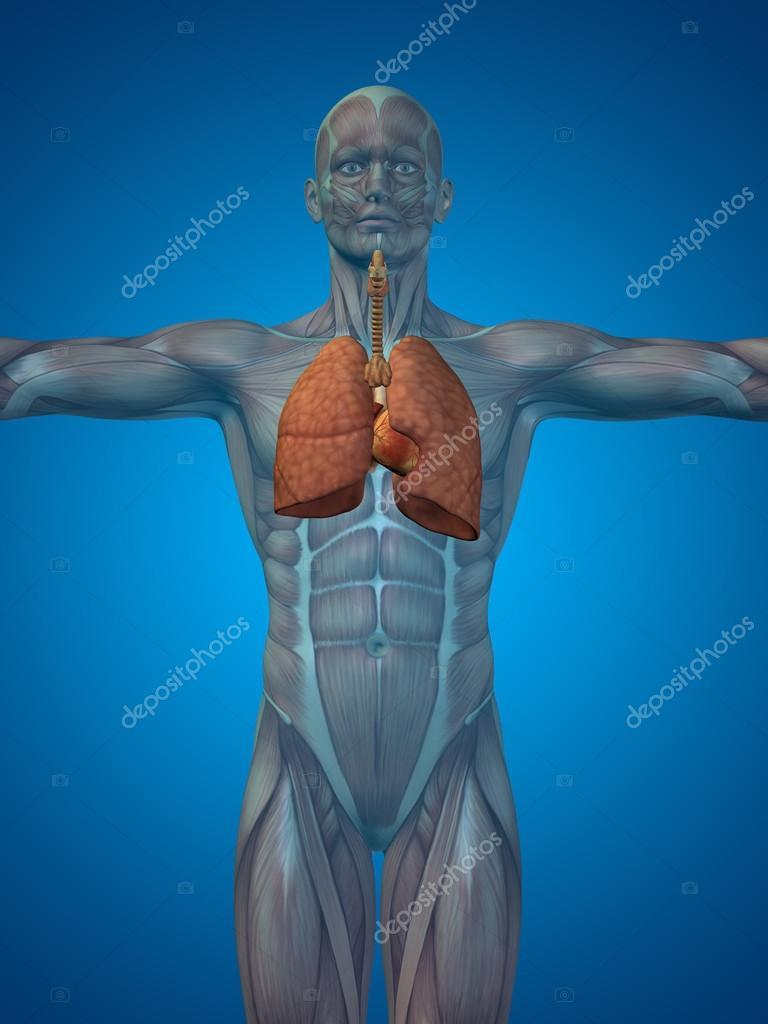 Anatomische menschlichen Atemwege — Stockfoto © design36 #94601138