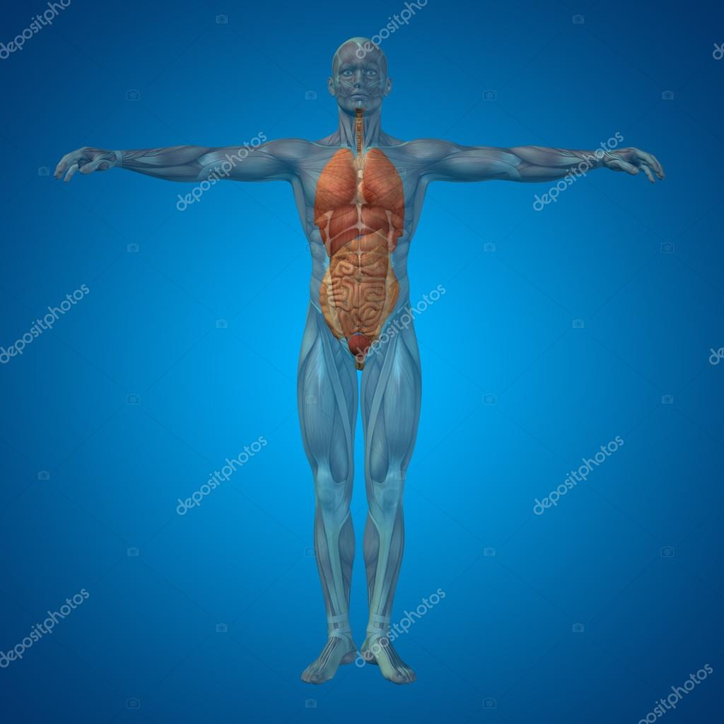 Man structure with internal organs stock photo design36 95385406 concept conceptual 3d human man structure with internal organs digestive lungs and circulatory system on blue background photo by design36 ccuart Choice Image