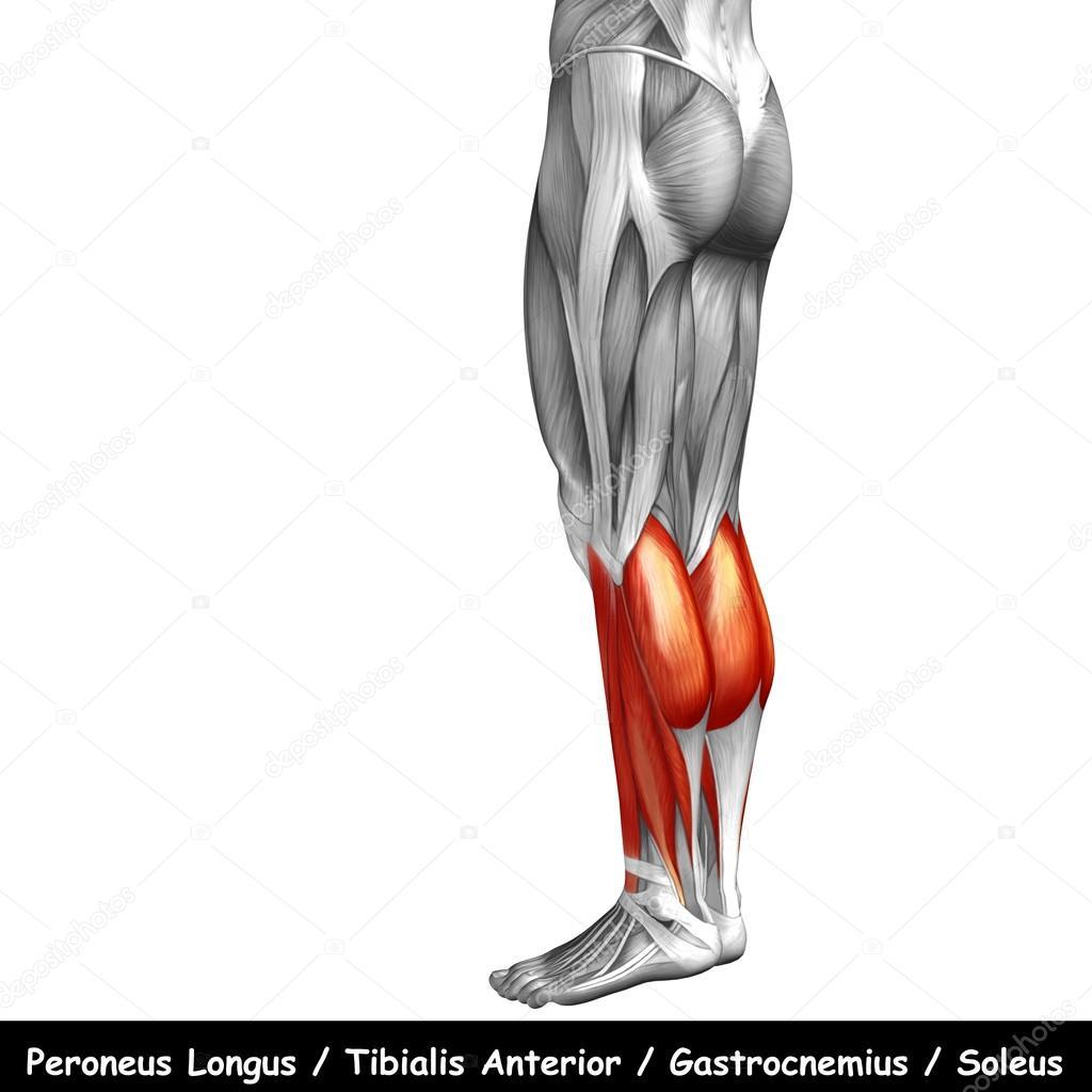 Anatomía de las piernas más baja — Foto de stock © design36 #95387012