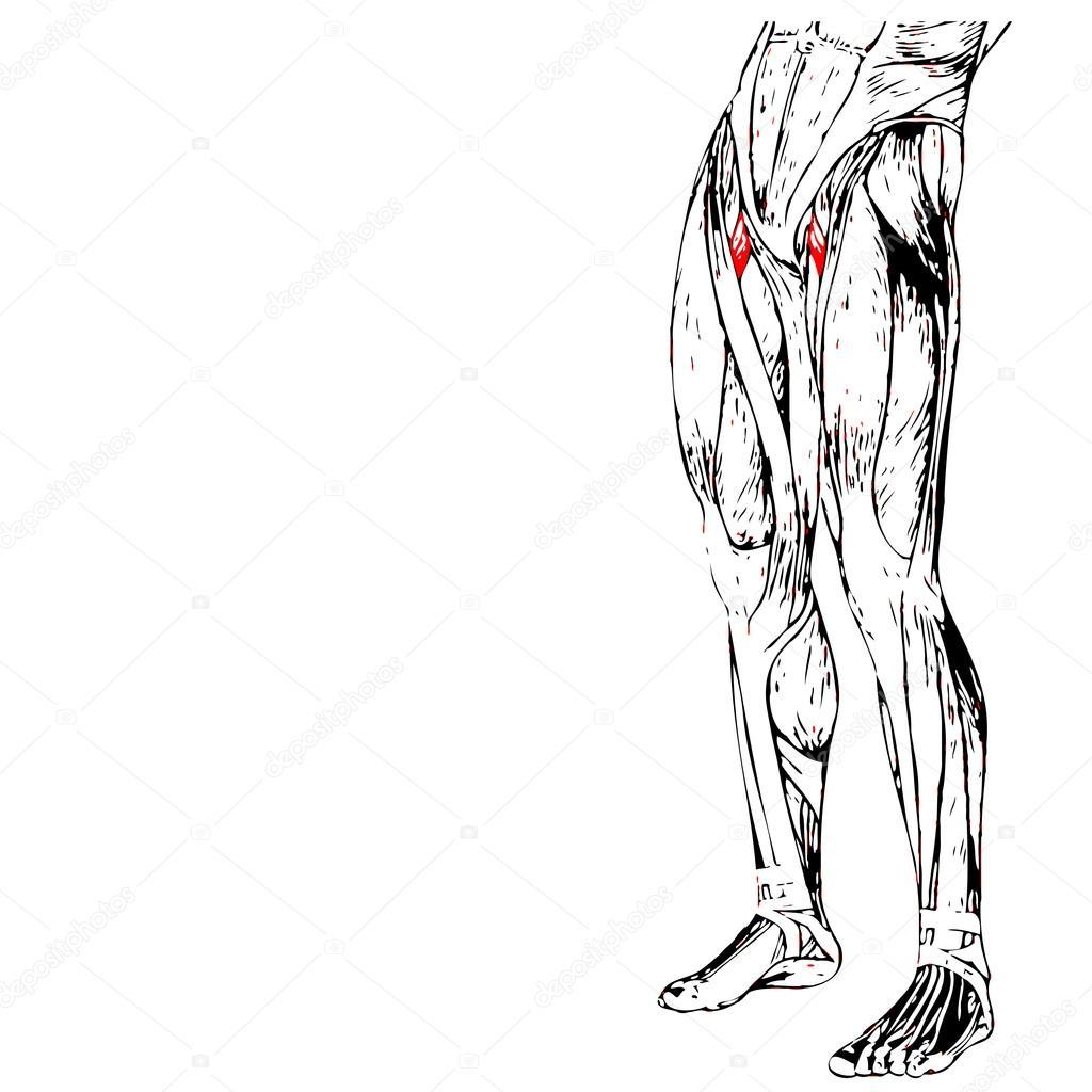 anatomía humana piernas superiores — Fotos de Stock © design36 #95387782
