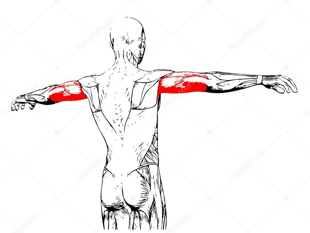 Trizeps menschliche Anatomie — Stockfoto © design36 #95387816