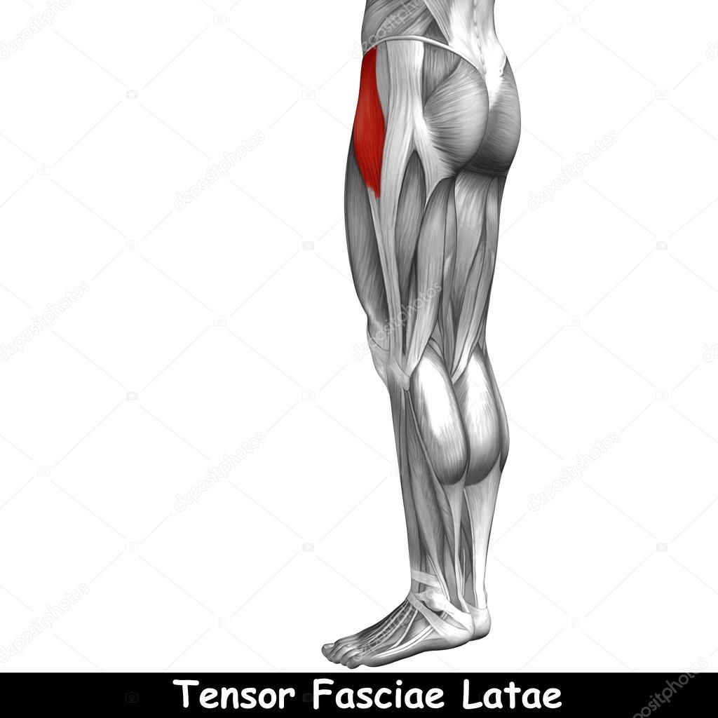 Oberschenkel-Anatomie — Stockfoto © design36 #95388342