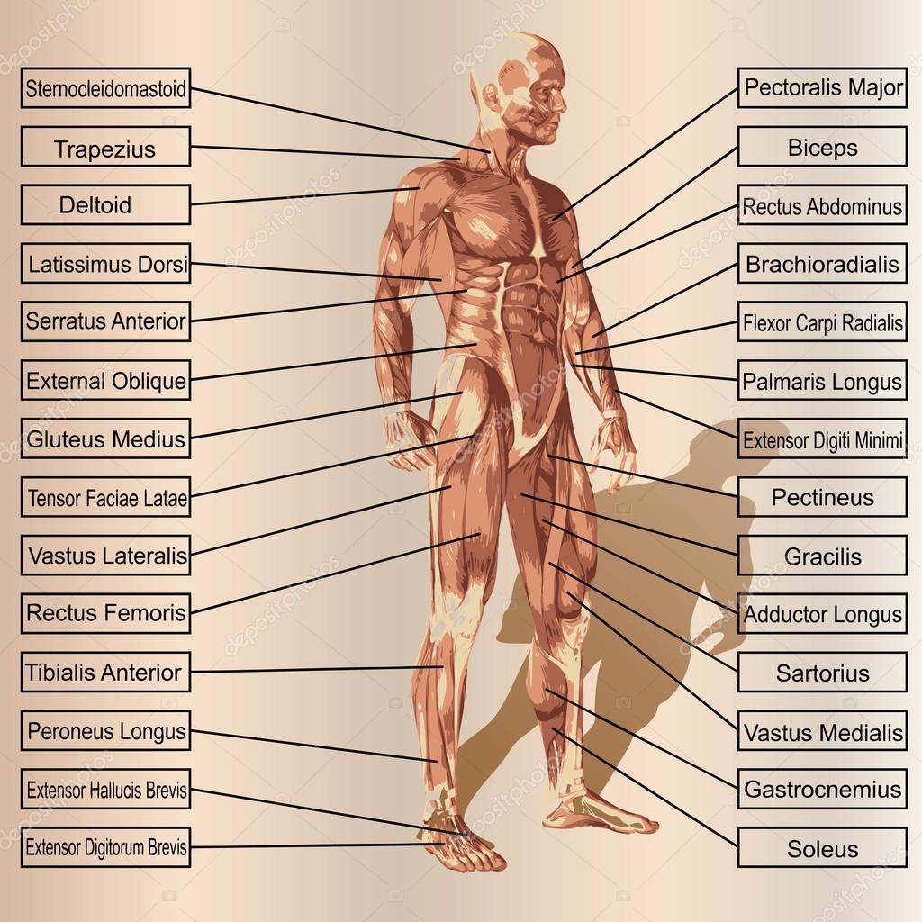 männlich oder menschliche Anatomie — Stockfoto © design36 #95388364