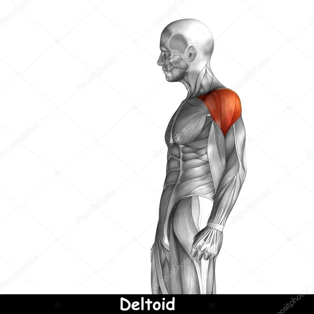 Menschliche Anatomie der Brust — Stockfoto © design36 #95388564