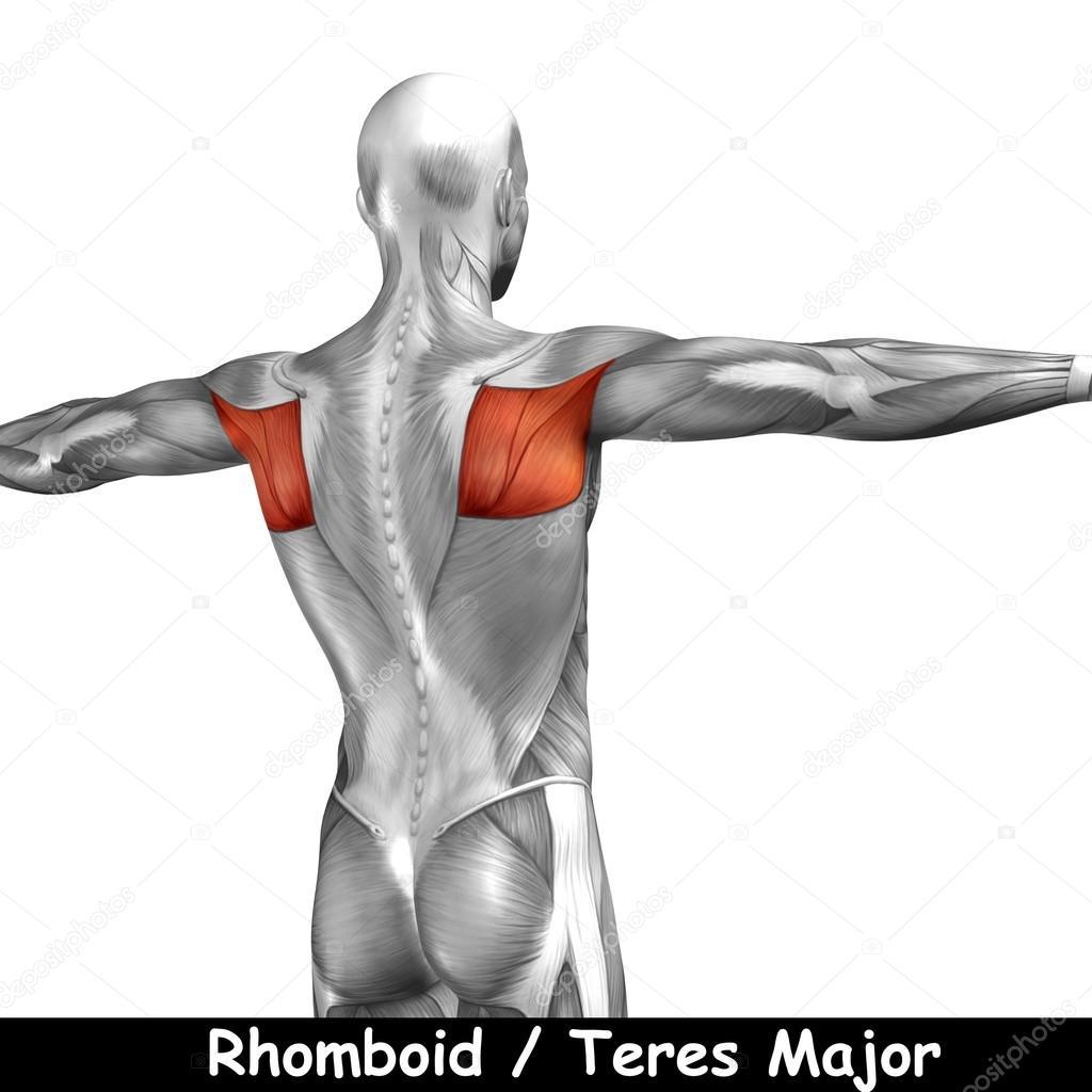 Wieder menschliche Anatomie — Stockfoto © design36 #95388828