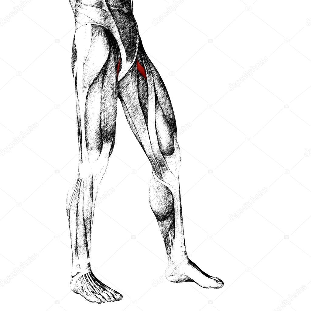 anatomía humana piernas superiores — Foto de stock © design36 #95389028