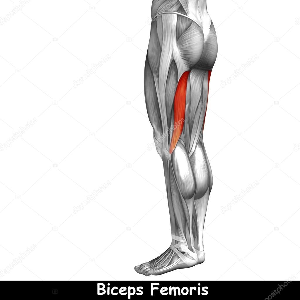 Oberschenkel-Anatomie — Stockfoto © design36 #95389752