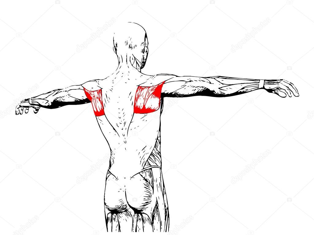 Wieder menschliche Anatomie — Stockfoto © design36 #95389846