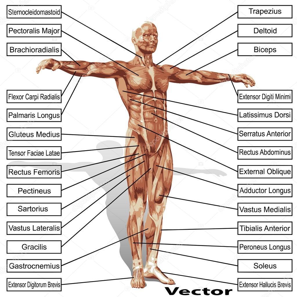 Anatomie De L Homme anatomie de l'homme avec des muscles — image vectorielle design36