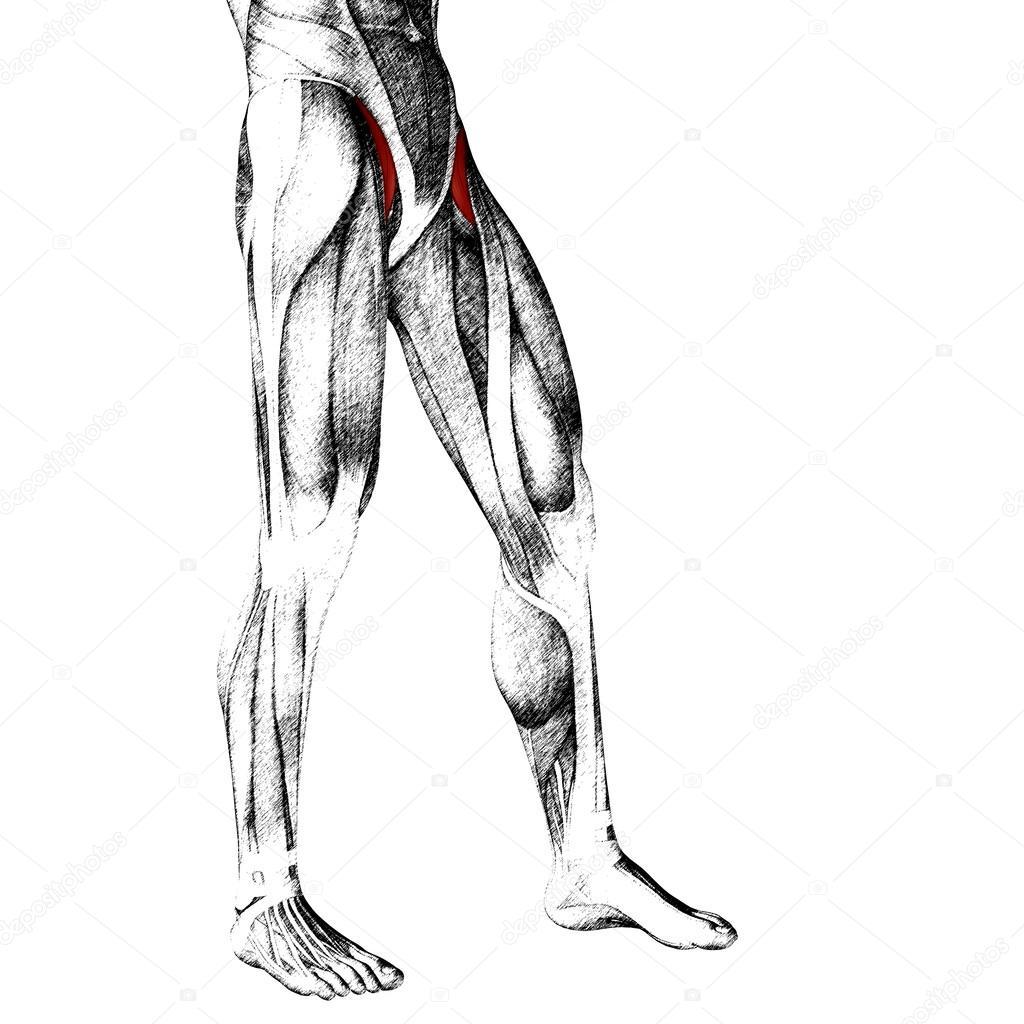 Oberschenkel-Anatomie — Stockfoto © design36 #95390122