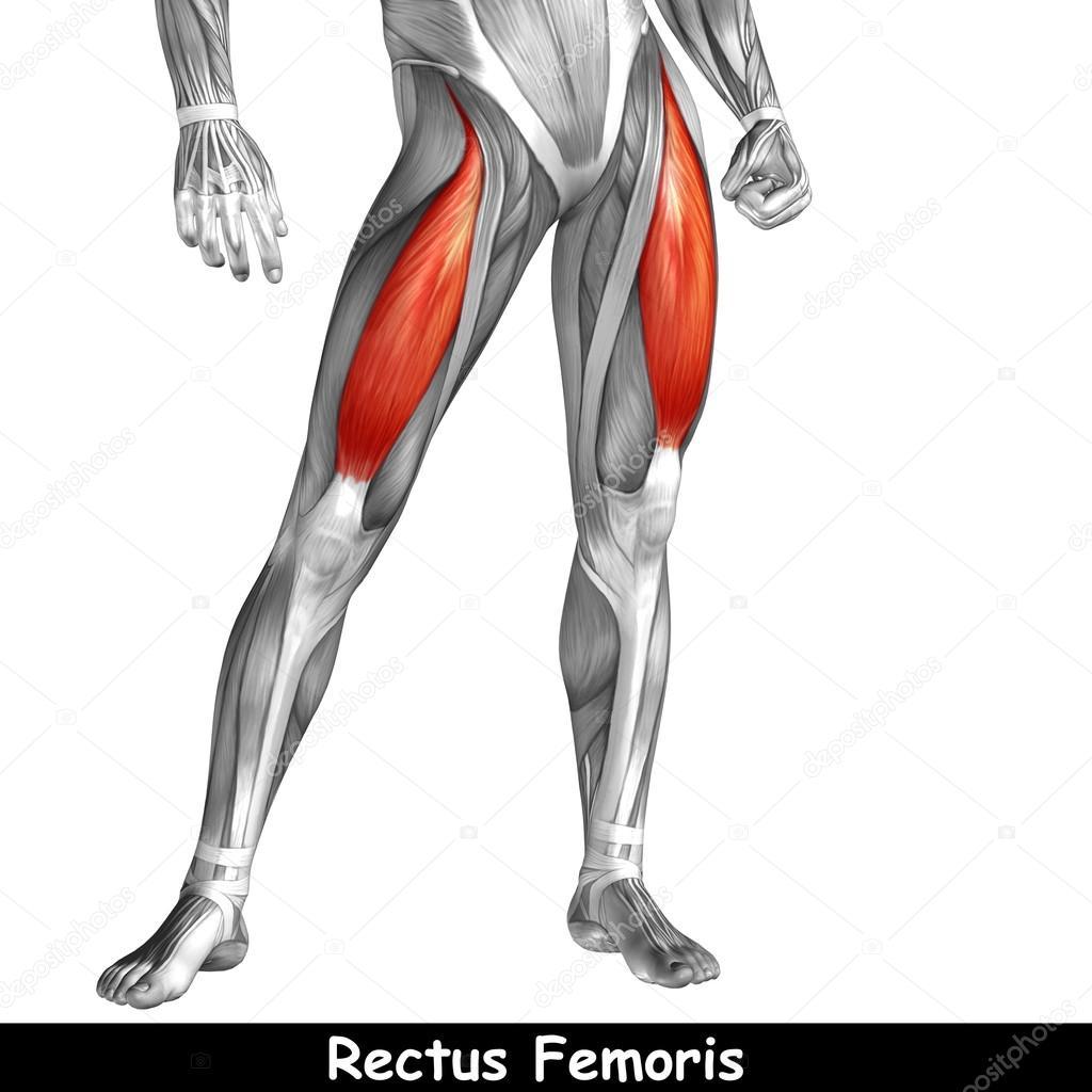 Human Upper Legs Anatomy Stock Photo Design36 95390428