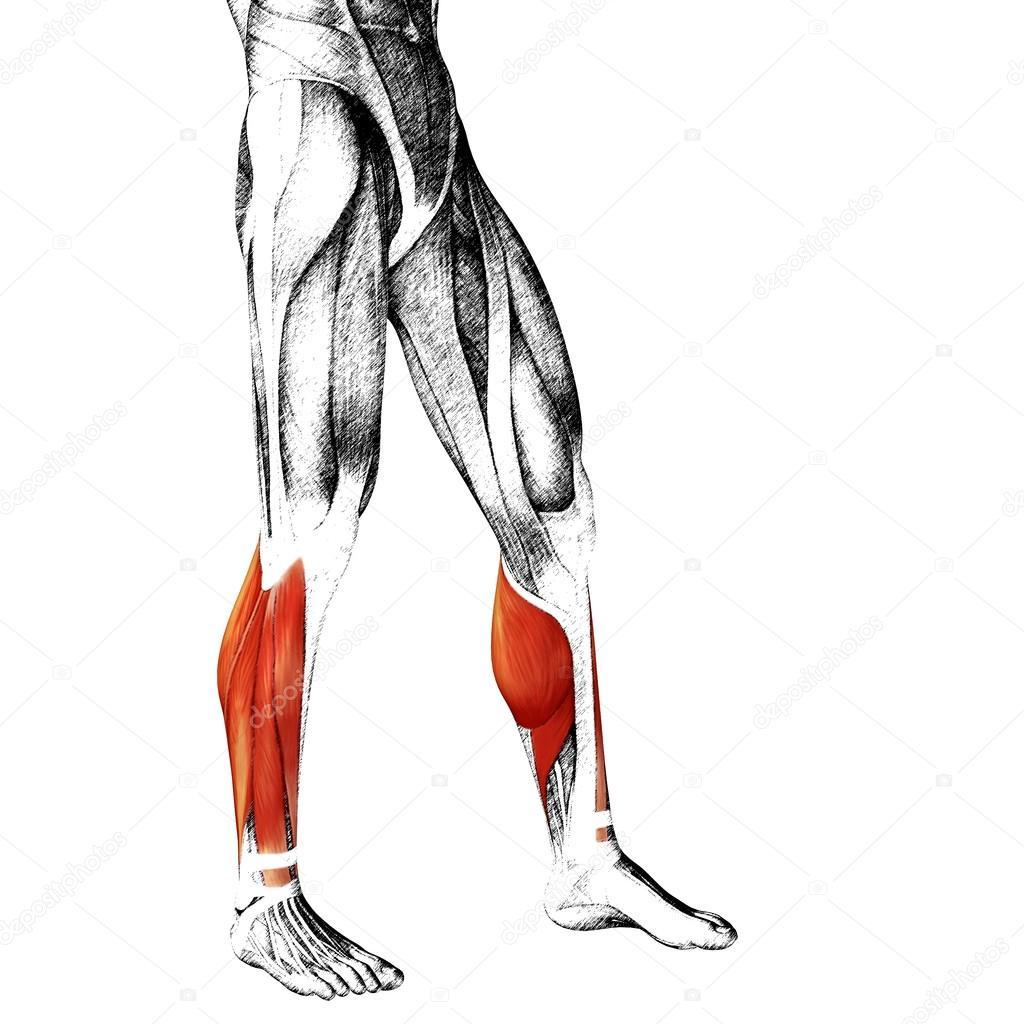 Anatomía de las piernas más baja — Fotos de Stock © design36 #95390794