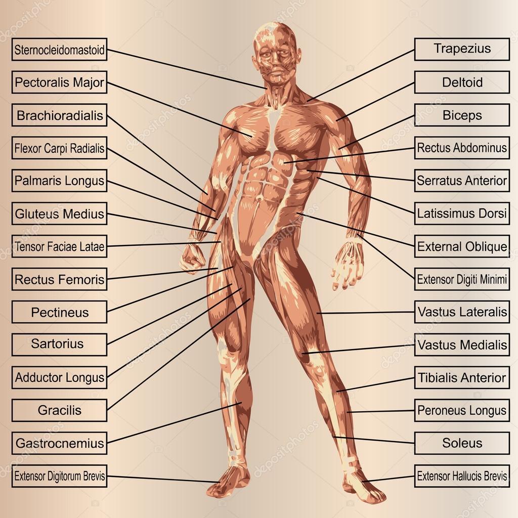 männlich oder menschliche Anatomie — Stockfoto © design36 #95391104