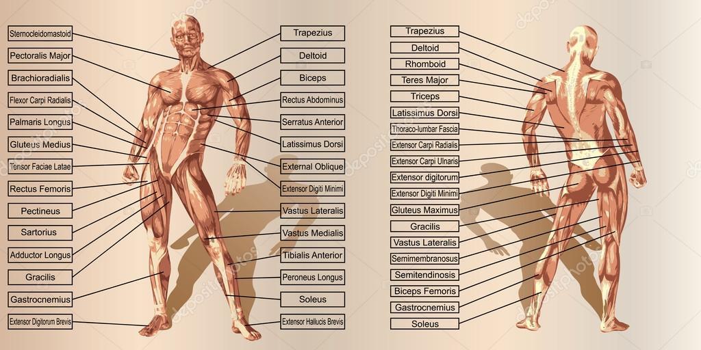 Mensch-Anatomie und Muskeln — Stockfoto © design36 #95391622