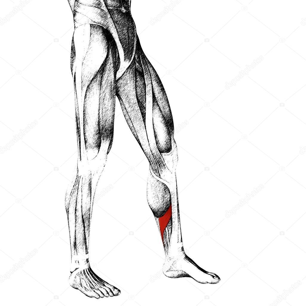 Anatomía de las piernas más baja — Fotos de Stock © design36 #95392580