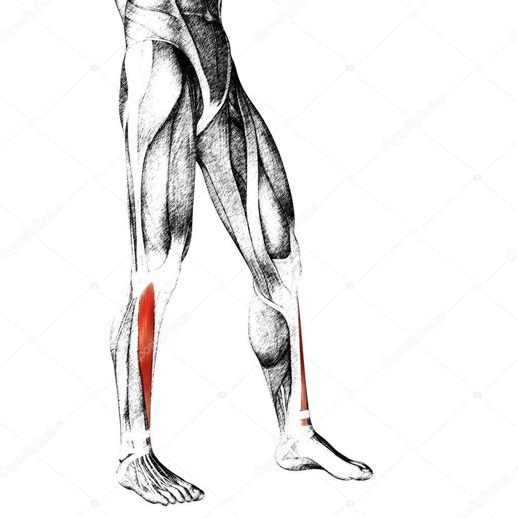 Anatomie der unteren Beine — Stockfoto © design36 #95392582