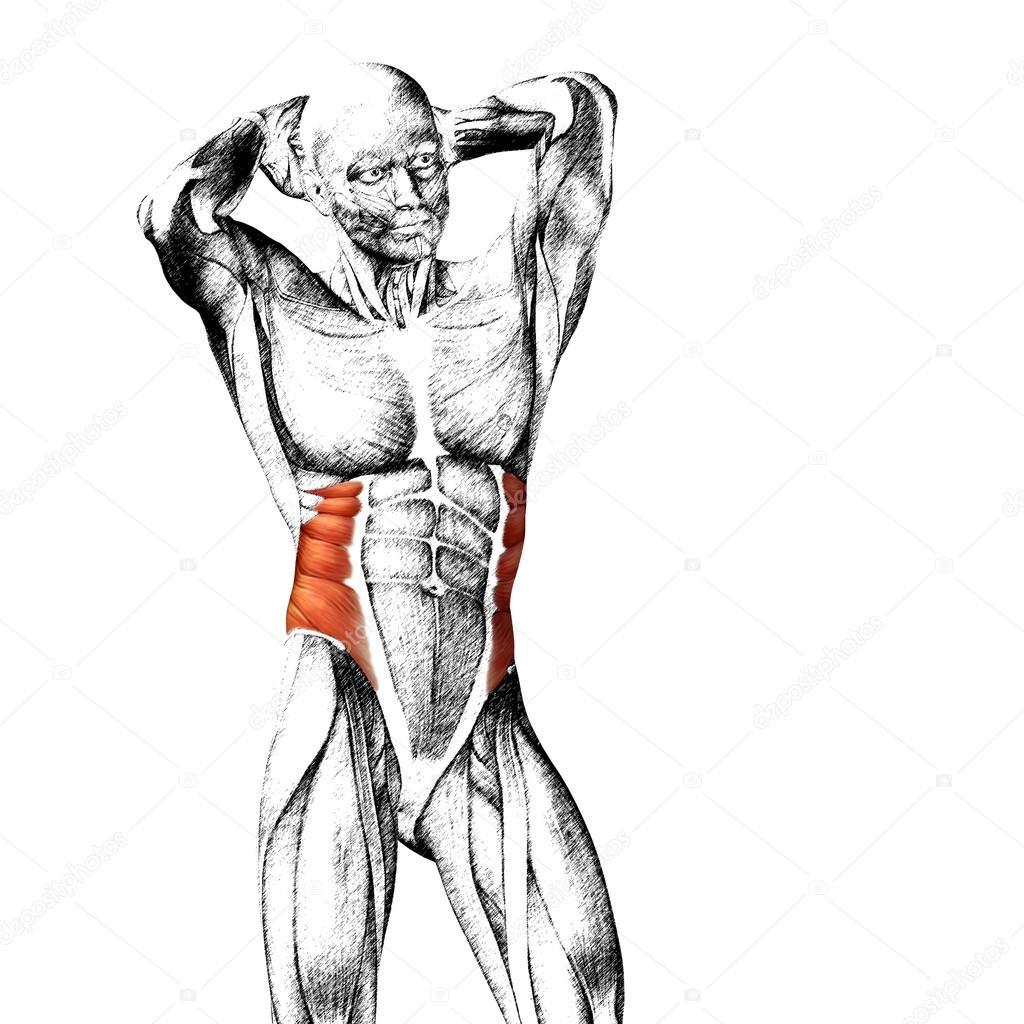 Menschliche Anatomie der Brust — Stockfoto © design36 #95392656