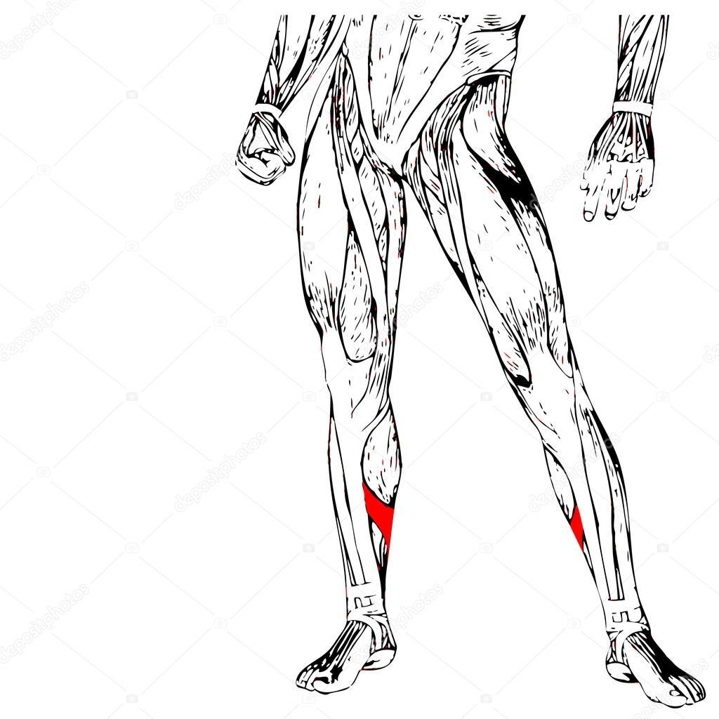 Anatomía de las piernas más baja — Fotos de Stock © design36 #95393186