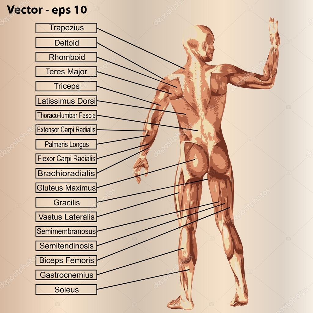 Anatomía con músculos y texto — Vector de stock © design36 #95394982