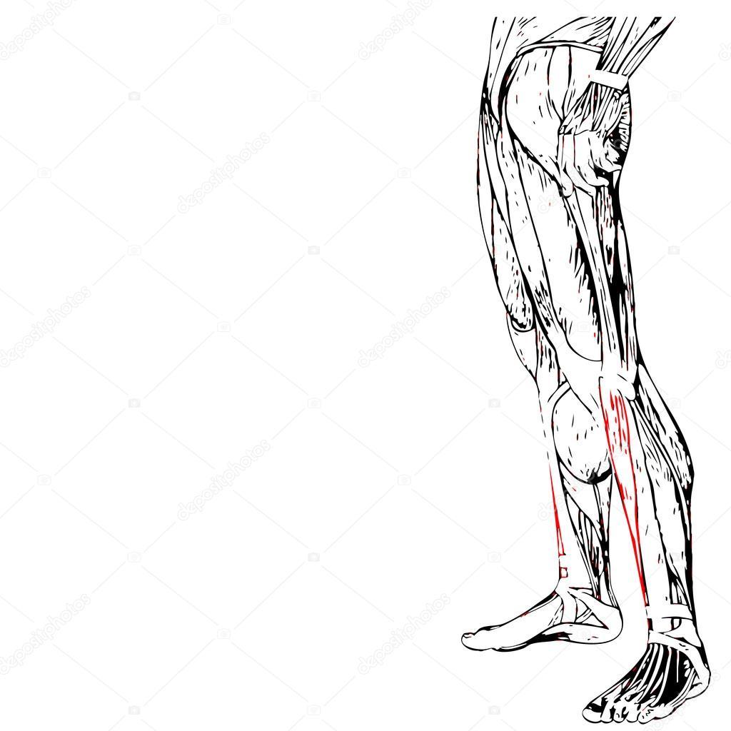 unteren Beine Anatomie — Stockfoto © design36 #96273104