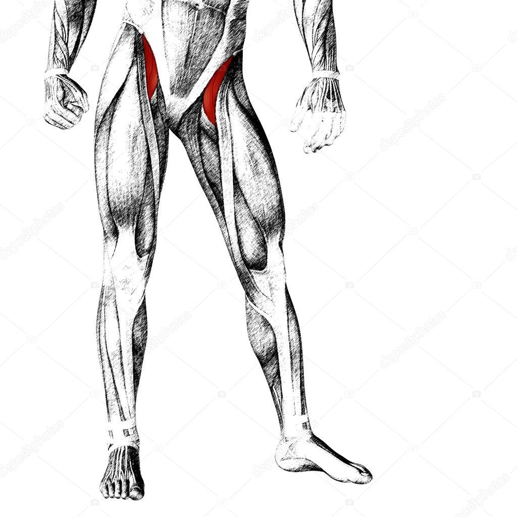 menschliche Oberschenkel-Anatomie — Stockfoto © design36 #96274698