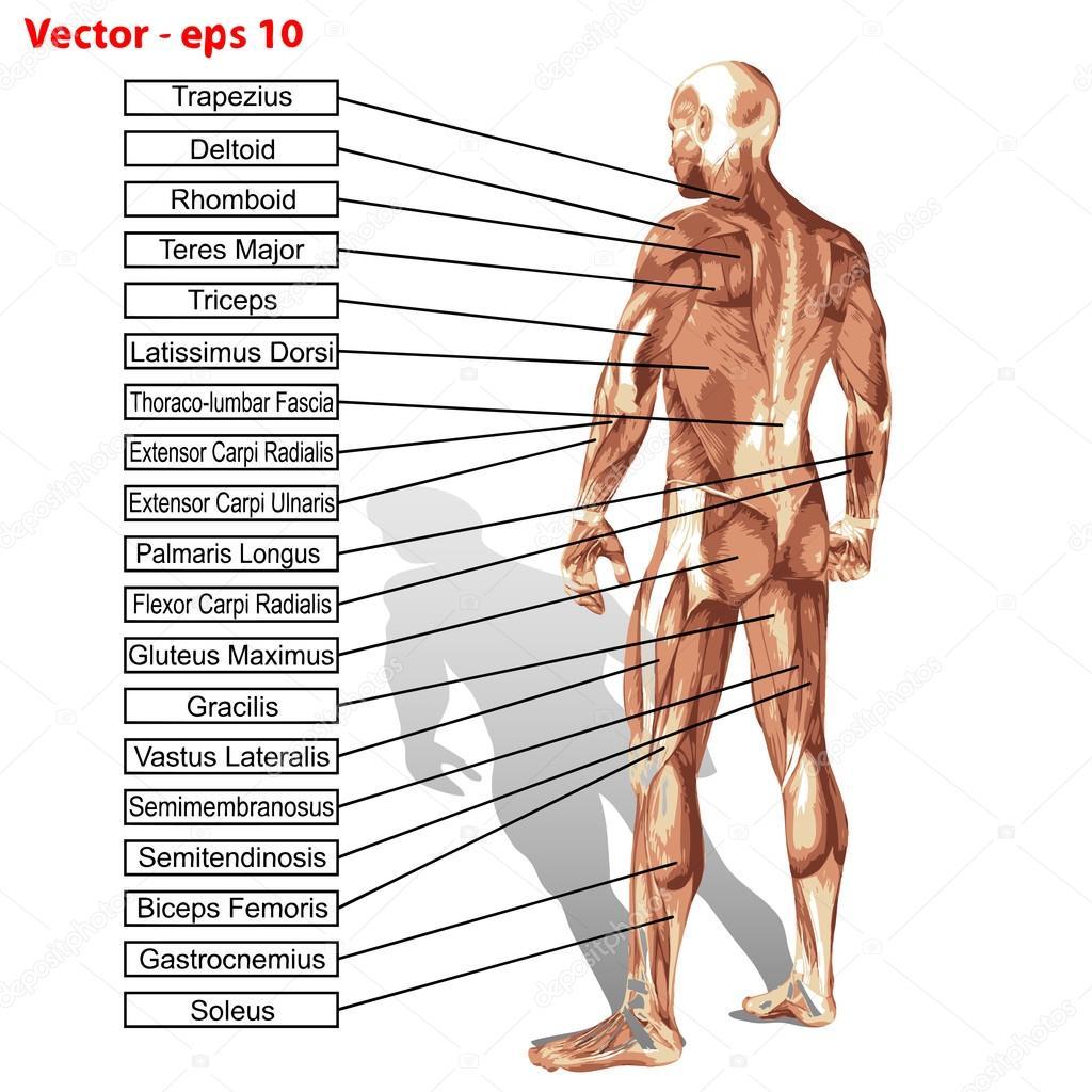 Anatomie Muskeln text — Stockvektor © design36 #96274790