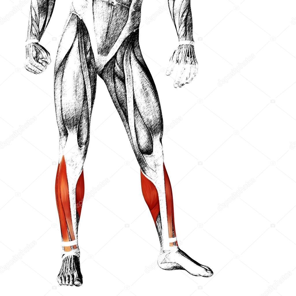 Erfreut Muskelanatomie Unterschenkel Bilder - Anatomie Ideen ...