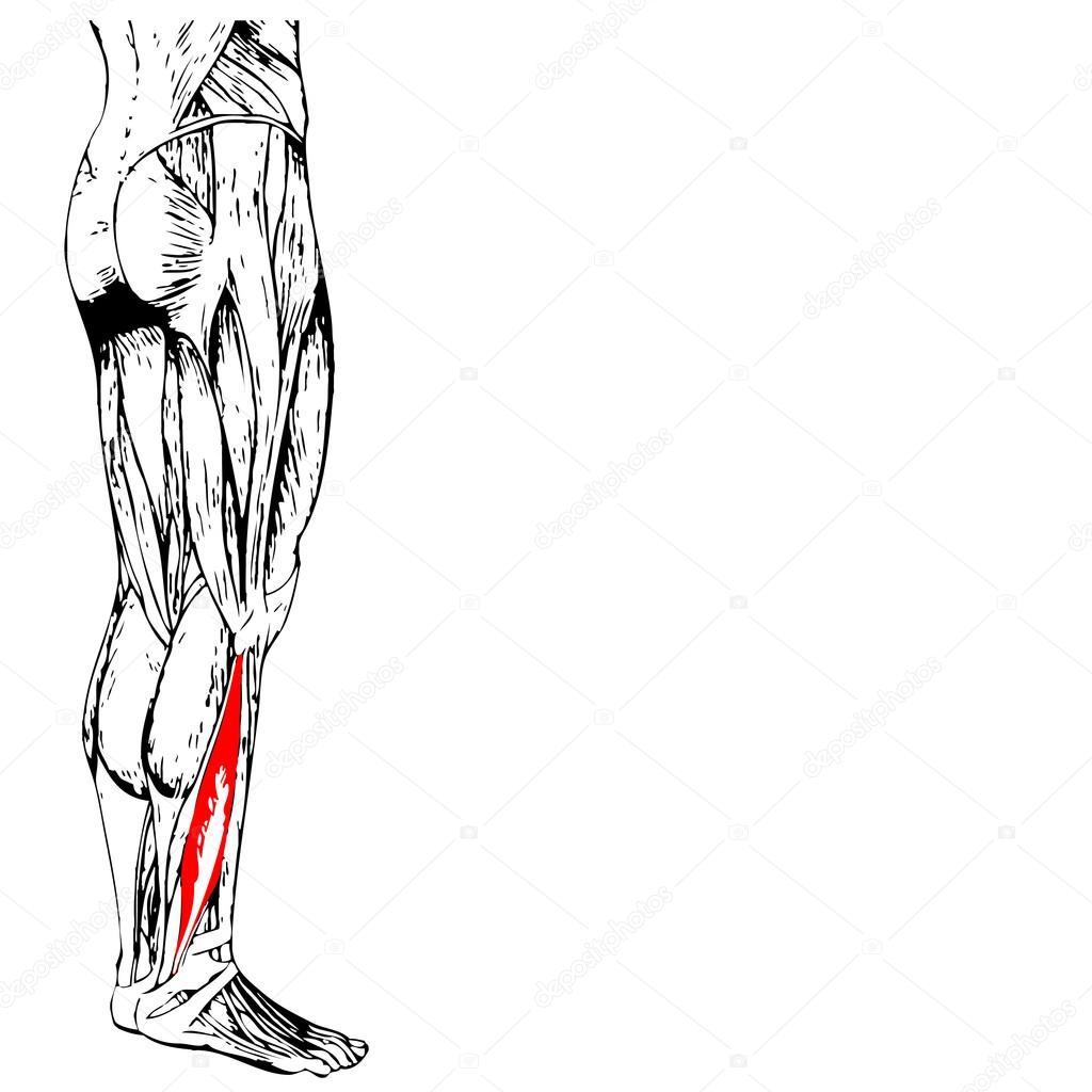 unteren Beine Anatomie — Stockfoto © design36 #96282070