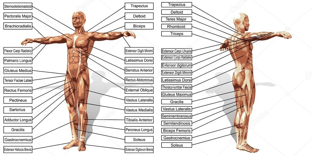 Anatomie und Muskeln text — Stockfoto © design36 #96284968