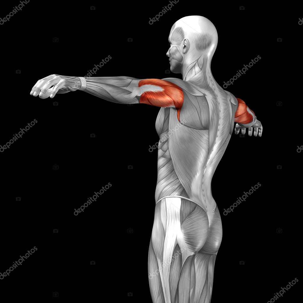 Trizeps menschliche Anatomie — Stockfoto © design36 #96294138